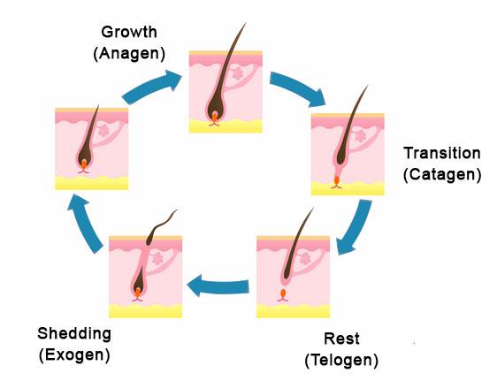 hair-growth-cycle